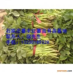 红薯苗 甘薯苗 地瓜苗 龙薯9苗 山又苗 头茬红薯苗