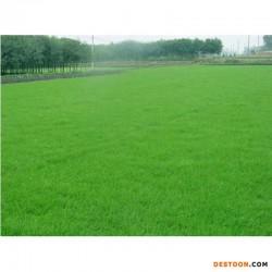 高羊茅 早熟禾 混播草坪 草坪 冷季型草坪