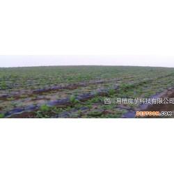 下陆区一代魔芋种子批发,一代魔芋价格10元/公斤,公司垫资您种植