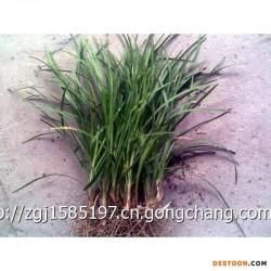 贵州麦冬草产地 云南麦冬草基地 四川麦冬草价格报价全国比较