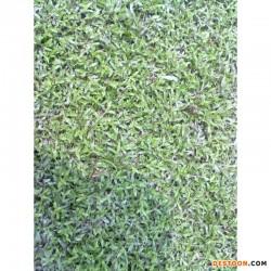 广东大叶油草