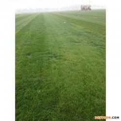 栾城草坪销售基地