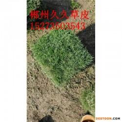 广西马尼拉草坪价格