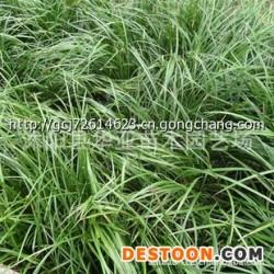 大量供应麦冬草