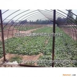 师宗县紫薯种苗多少钱一颗
