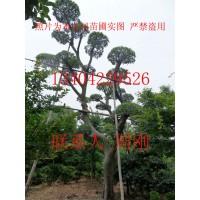 造型榆树、造型榔榆、苏州造型花木、造型景观树木、景观造型苗木