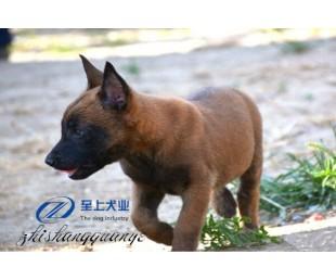 山东至上犬业专业狼犬养殖基地