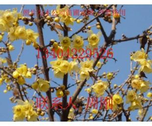 苏州腊梅花、腊梅树种植基地、苏州绿化苗木、苏州庭院绿化