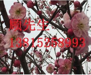 亚博国际娱乐平台_苏州庭院景观设计、鸿运果树、苏州景观绿化工程公司、景观树厂家