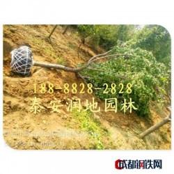 亚虎国际娱乐客户端下载_泰安樱花树价格/山东樱花树价格
