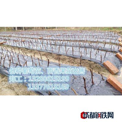 河源荔枝苗價格