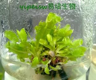 亚虎国际pt客户端_食虫植物-捕蝇草组培苗 组培 增殖