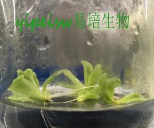 食虫植物-捕虫堇组培苗 组培 增殖 无菌苗
