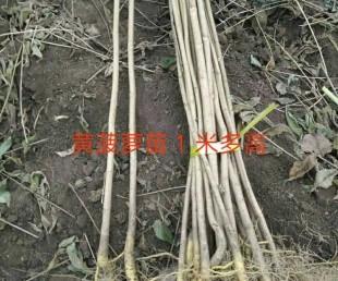 亚虎国际pt客户端_黄菠萝苗还是吉林本地苗成活率高