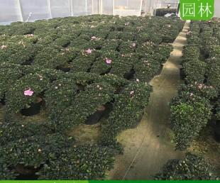 重庆杜鹃花多少钱,重庆杜鹃花供应基地,重庆杜鹃花种植户