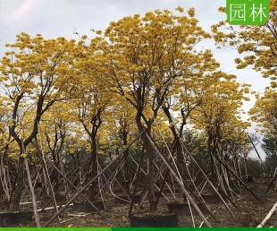 贵州15公分黄花风铃木假植苗,贵州遵义哪里供应黄花风铃木