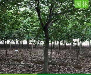 海南三亚12公分洋紫荆地苗,海南三亚洋紫荆移植苗批发中心