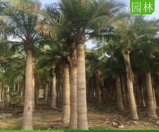 湖南岳阳国王椰子哪里的便宜,湖南岳阳国王椰子批发商电话