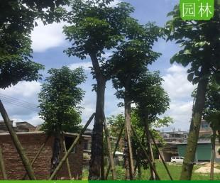 海南三亚15公分秋枫移植苗,海南三亚专业种植秋枫树