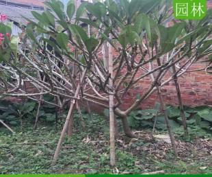 上海鸡蛋花薄利多销,上海鸡蛋花苗木基地,上海产地直供鸡蛋花