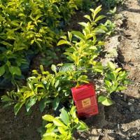 安徽灌木黄心梅地被小苗批发价,安徽园林绿化基地供应黄心梅袋苗