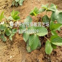 亚虎娱乐_艳丽草莓苗 艳丽草莓苗多少钱一棵