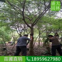 广西红皮榕种植场在哪,广西色泽美观红皮榕价格便宜规格齐全