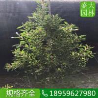 重庆花稠密红千层盆景多少钱,重庆哪里有卖质量好的红千层批发商