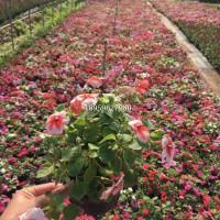 广东花境花带时花袋苗种植场,广东哪里有卖时花地被苗报价