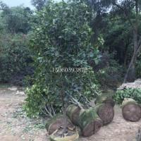 盆栽花卉 常绿灌木山茶花基地,山茶花大型种植场