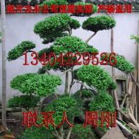 亚虎国际娱乐客户端下载_苏州造型黄杨批发、最大造型黄杨树种植基地、小叶黄杨树盆景