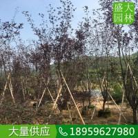 云南紫叶李价格便宜质量好的,云南自有苗圃供应紫叶李风景树