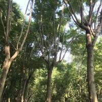 福建泉州全冠蓝花楹,原生多杆的蓝花楹苗木