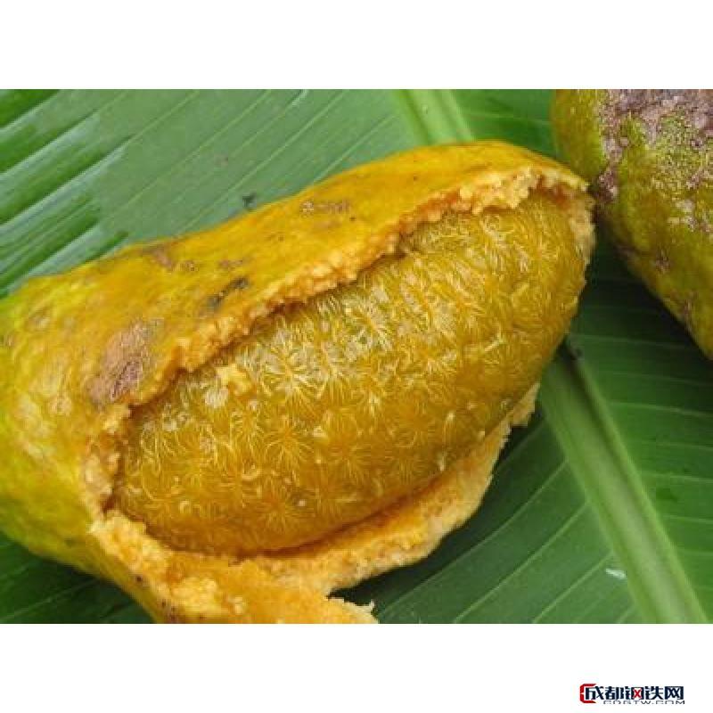 全天然好吃丰富水果九月黄金蕉苗开发基地 苗木栽培佳品