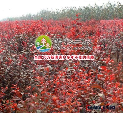 栽培红叶赤果苗 彩叶苗木 种植红叶赤果苗 种植彩叶树种