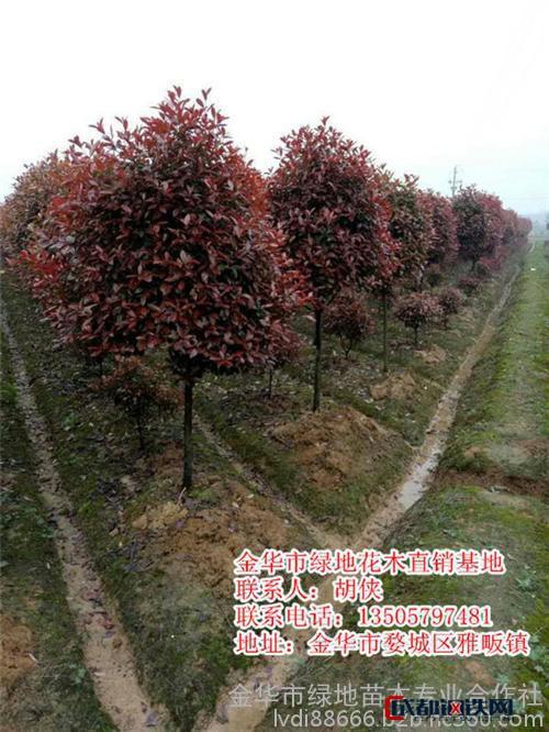 绿地苗木值得信赖(图),红叶石楠栽培,陕西红叶石楠