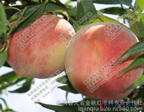 金秋红蜜桃苗木_金秋红蜜桃栽培新技术_元宝金秋红蜜桃苗