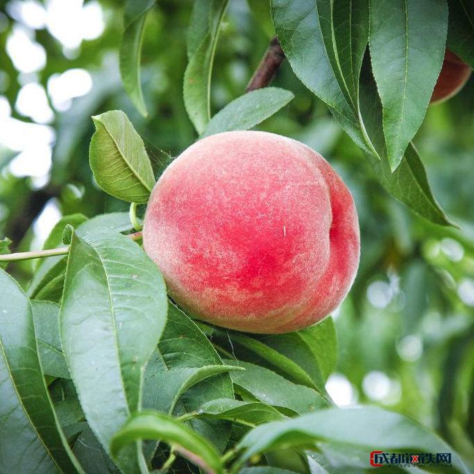 胭脂脆桃苗  大量果树苗优质地栽培育绿化苗木现货